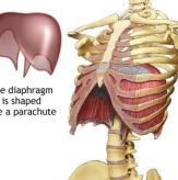 Дыхательная диафрагма подобна куполу парашюта